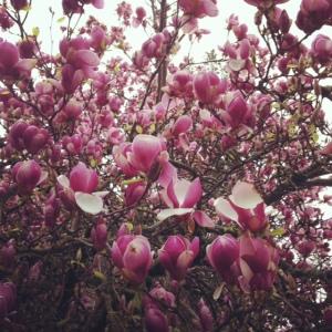 Blossoms near Condon Hall